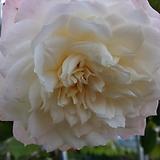 독일장미.알래스카.old rose 향기.예쁜 화이트,흰색.(꽃형 예뻐요!).꽃8~10cm.울타리.넝쿨장미.월동가능.상태굿..늦가을까지 피고 합니다.~|