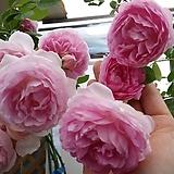 독일장미.자스미나.old rose 향기,과일향기.예쁜 사랑스런 핑크색.(꽃형 예뻐요!).꽃6~7cm.울타리.넝쿨장미.월동가능.상태굿..늦가을까지 피고 합니다.~|