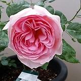 영국장미.디 에인시어트 마리너.과일향과몰약향기.예쁜 사랑스런 핑크색.(꽃형  예쁜형).울타리.넝쿨장미.월동가능.상태굿..늦가을까지 피고 합니다...|