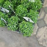 원플원 2개 머틀허브 중품 20~30cm 189 야생화공기정화식물|
