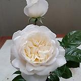 독일장미.4계.섬머메모리즈.크림화이트,흰색.old rose 향기.꽃10cm.아주예뻐요.정원관목장미.월동가능.상태굿.늦가을까지 피고 합니다.~|