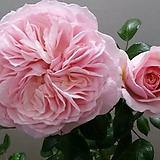 독일장미.4계.가든오브로즈.사랑스런 파스텔 핑크색.old rose 향기.꽃10cm.아주예뻐요.정원관목장미.월동가능.상태굿.늦가을까지 피고 합니다.~|