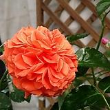스템장미.스탠드장미.독일장미 시리즈.오렌저리!!!예쁜오렌지!!!.old rose 향기.꽃크기7~8cm.(꽃형 예쁜형).월동가능.상태굿..늦가을까지 피고 합니다.~|