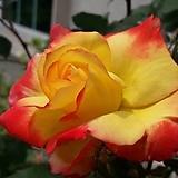 4계명품수입넝쿨장미.찰스톤(예쁜노랑색에서 빨강색으로 변함).울타리.넝쿨장미.월동가능.상태굿.늦가을까지 피고 합니다.|