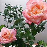 4계피스장미.대품.사랑스런 환타 오렌지그라데이션색.꽃향기좋음.꽃이 큰형.아주예뻐요.울타리장미.월동가능.상태굿.늦가을까지 피고 합니다.|