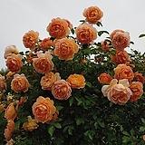 영국장미.레이디 어브 샤롯. old rose 향기,복합향기.예쁜 사랑스런 귤 오렌지색.(꽃형 컵모양 예쁜형).울타리.넝쿨장미.월동가능.상태굿..늦가을까지 피고 합니다...|