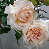 독일장미.피아노시리즈중.찬도스뷰티.예쁜 사랑스런 연산호색.과일향과몰약향기.(꽃형 예쁜형).울타리.넝쿨장미.월동가능.상태굿..늦가을까지 피고 합니다..~~~~|