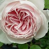 독일장미.4계.헤르초킨크리스티아나.사랑스런 크림 연핑크색.old rose 향기.꽃7~8cm.아주예뻐요.정원장미.월동가능.상태굿.늦가을까지 피고 합니다.~|
