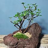 나무이야기525-7제주털진달래,제주화산석석부