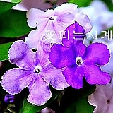 긴꾸따루(꽃대중품)