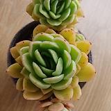 라즈아가   묵둥이  6두|Echeveria agavoides sp