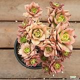 까라솔 244|Aeonium decorum f variegata