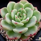 빅토리아 5-961|Echeveria globuliflora