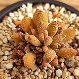 원종 티타놉시스|Crassula ausensis v titanopsis