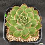 1004. 묵은, 독일롱기시마|Echeveria longissima