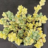1005. 벽어연금|Corpuscularia lehmanni