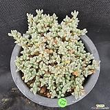 1013. 원종 벽어연|Corpuscularia lehmanni