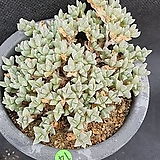 1014. 원종 벽어연|Corpuscularia lehmanni