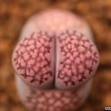 T00_julii'菊章玉'×salicola'Bacchus'(가든实生交配宗)