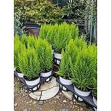 피톤치드 율마 집안 원룸 여름식물 외목대