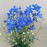 델피늄(꽃대소품)-노지월동