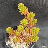 1026. 알찬, 레드베리|Sedum Rubrotinctum Redberry
