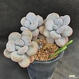 1053. 문스톤|Pachyphytum Oviferum Moon Stone