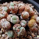 코노피튬 묵둥이 5-012|Conophytum