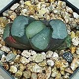 만상 대형종 분주품|Haworthia maughanii