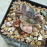 옵투사 홍금|Haworthia cymbiformis var. obtusa