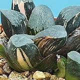 코렉타 환엽 산반금|Haworhtia correcta