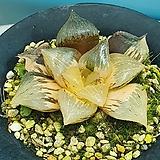픽타|Haworthia picta