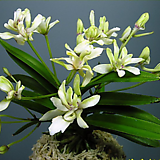 화제-3촉,꽃대있음,|Crassula Americana cv.Flame