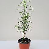 티트리나무(중품)