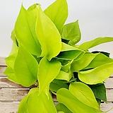 풍성한 형광스킨 넝쿨식물 음지식물 공기정화식물 수경재배
