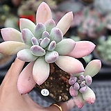 粉色피치0527-53