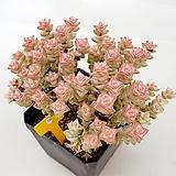 희성금134|Crassula Rupestris variegata