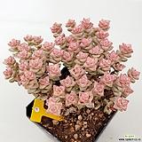 희성금135|Crassula Rupestris variegata
