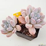 후레뉴137|Pachyphytum cv Frevel