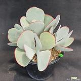 1076. 백미|Cotyledon orbiculata