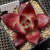 홍시(Echeveria Red Plum)29