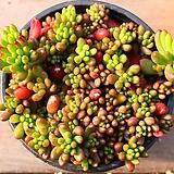 레드베리 235|Sedum Rubrotinctum Redberry