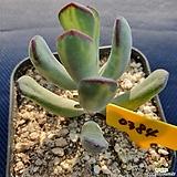 원종호피복랑금|Cotyledon orbiculata cv variegated
