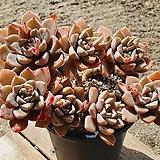 핑크프리티 6.12 0507|Echeveria Pretty in Pink