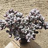 방울복랑 22.2 0507|Cotyledon orbiculata cv