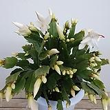 꽃 많고 풍성한 흰색게발선인장 선인장 게발선인장|