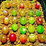 리톱스 믹스 씨앗(100립)-280여종이 섞여 있어요/리톱스씨앗|Lithops