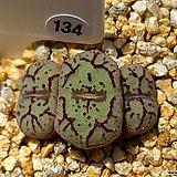 위트버젠스 134|Conophytum Wittebergense