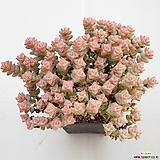 희성금163|Crassula Rupestris variegata