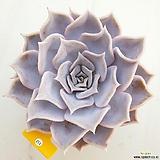 릴리시나112|Echeveria lilacina